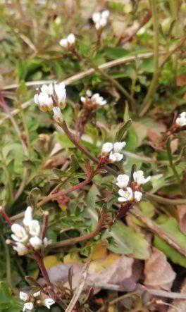 Rzeżucha włochata (Cardamine hirsuta)