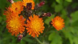 Jastrzębiec pomarańczowy (Hieracium aurantiacum)
