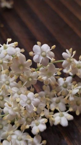 Bez czarny (Sambucus nigra)
