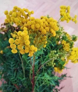 Wrotycz pospolity (Tanacetum vulgare)