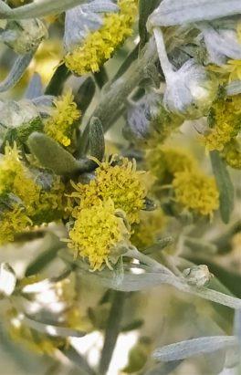 Bylica piołun (Artemisia absinthium)