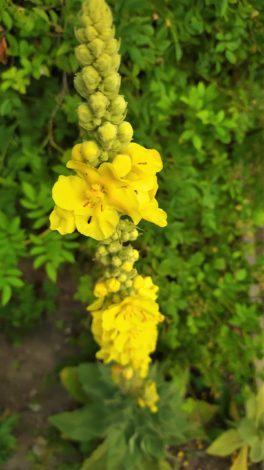 Dziewanna wielkokwiatowa Verbascum densiflorum