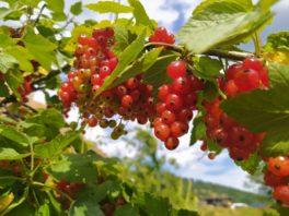 Porzeczka (Ribes)